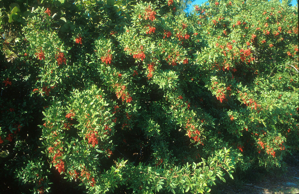 Brazilian Pepper Tree http://pesticide.ifas.ufl.edu/BrazilianPepper/photo-gallery/index.shtml
