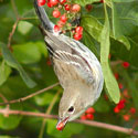 Mocking bird eating a Brazilian Pepper Tree berry