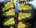 Lygodium - Old World Climbing Fern